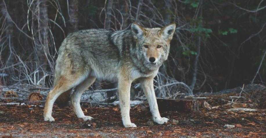 Wolves In Yellowstone Worksheet Along with Die Freilassung Von 14 Wölfen Im Yellowstone Nationalpark Löste