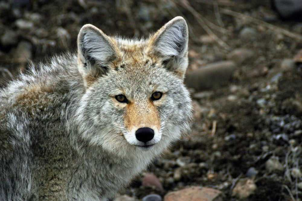 Wolves In Yellowstone Worksheet Along with Yellowstone Safari Pany 18 Reviews tours Bozeman Mt