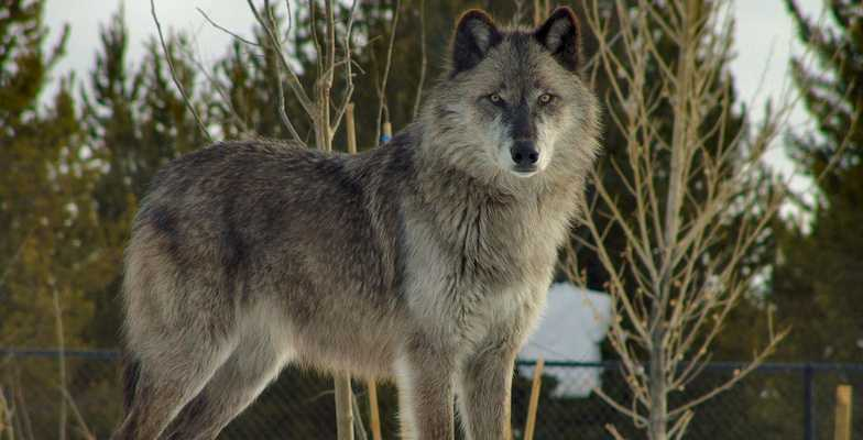 Wolves In Yellowstone Worksheet and Yellowstone National Park before You Go Fun for Kids