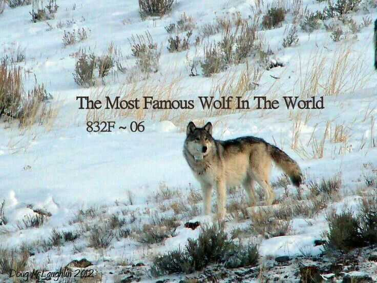 Wolves In Yellowstone Worksheet together with 10 Best Wolf Images On Pinterest