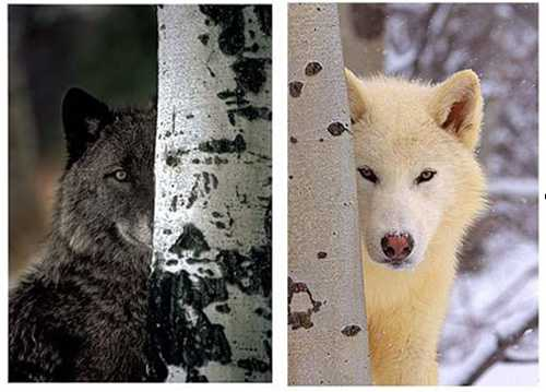 Wolves In Yellowstone Worksheet with 2010 Howling for Justice