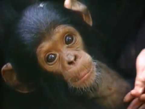 Among the Wild Chimpanzees Worksheet Answers or Among the Wild Chimpanzees Full National Geographic Documentary
