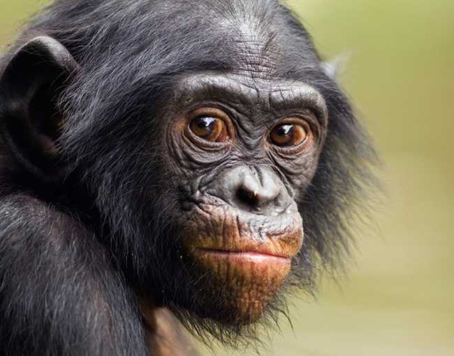 Among the Wild Chimpanzees Worksheet Answers together with Lucy and the Leakeys Article