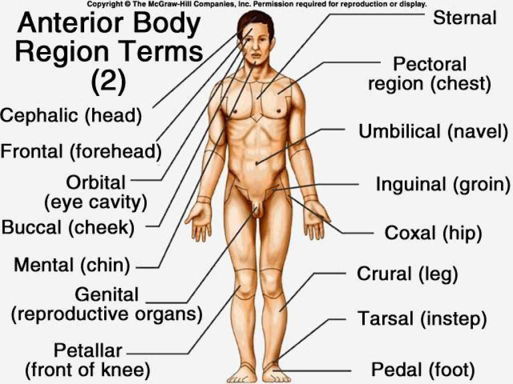 Anatomy and Physiology Worksheets and Anatomy Regions the Body Body Regions Worksheet S Ne