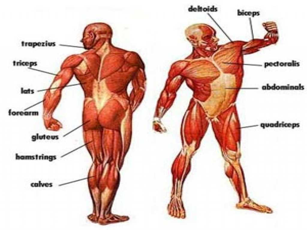 Anatomy and Physiology Worksheets and Enchanting Muscles Anatomy Game Position Physiology