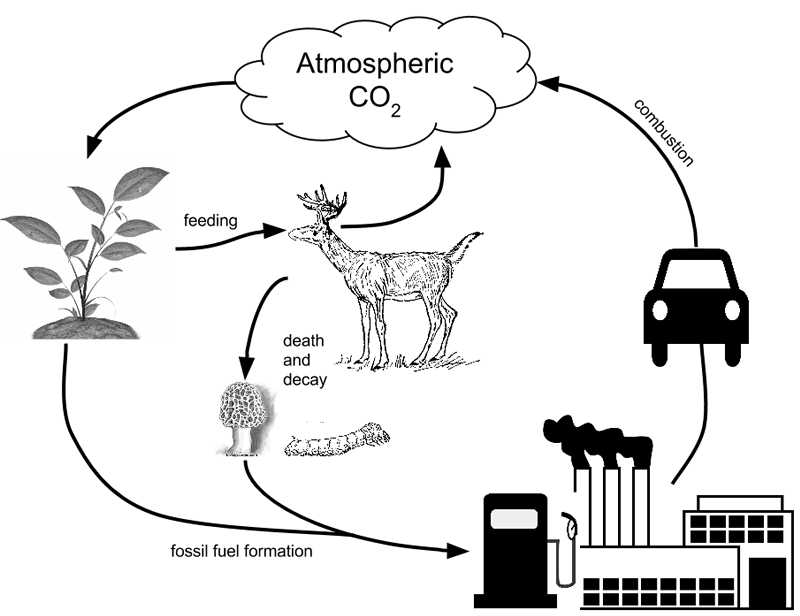 Carbon Cycle Worksheet Also Analyzing Graphics the Carbon Cycle