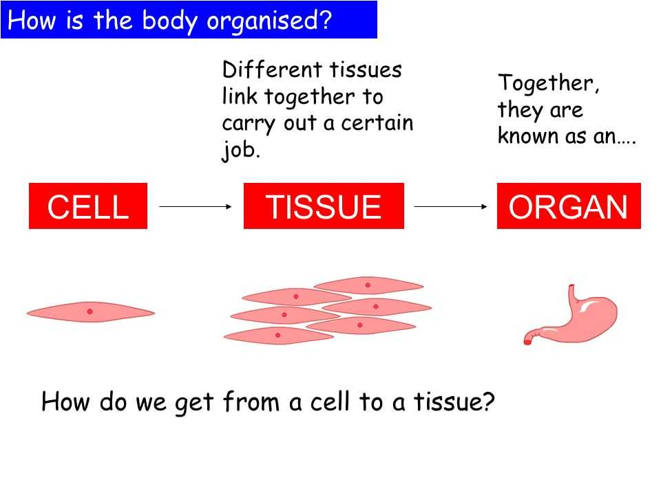 Cells Tissues organs organ Systems Worksheet together with Cells organs & Tissues Lessons Ppt Video Online