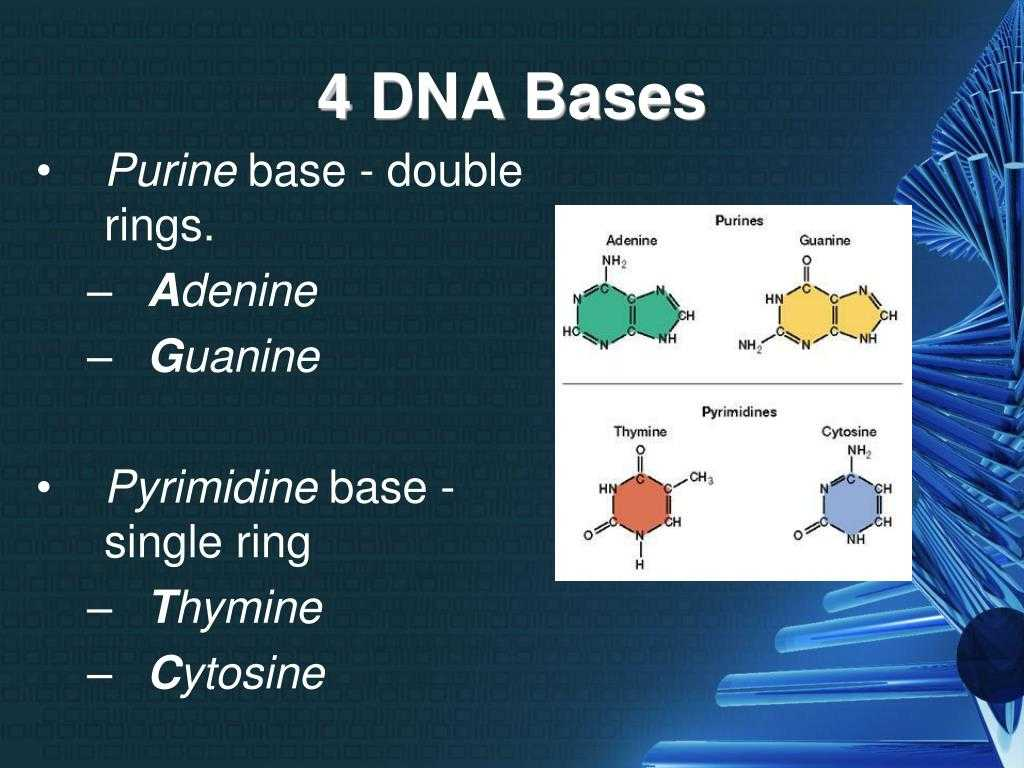 Dna & Protein Synthesis Worksheet Answers with 4 Bases Of Dna Bing Images