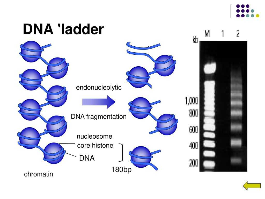 Dna Base Pairing Worksheet Answers As Well As Free