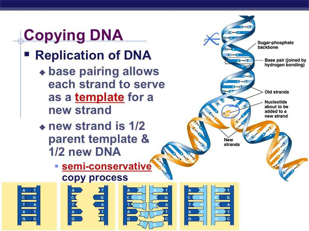 Dna Profiling Using Strs Worksheet Answers Also Dna Replication Hindi Youtube