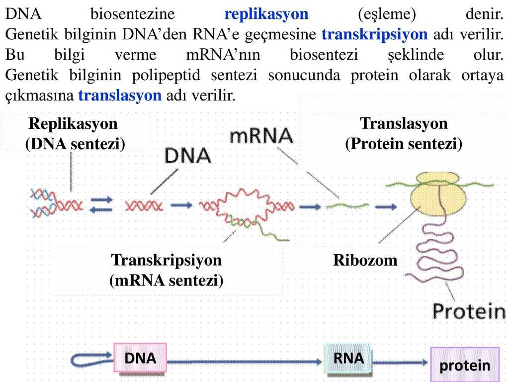 Dna Profiling Using Strs Worksheet Answers Also Protein Sentezi Protei Nler Blse