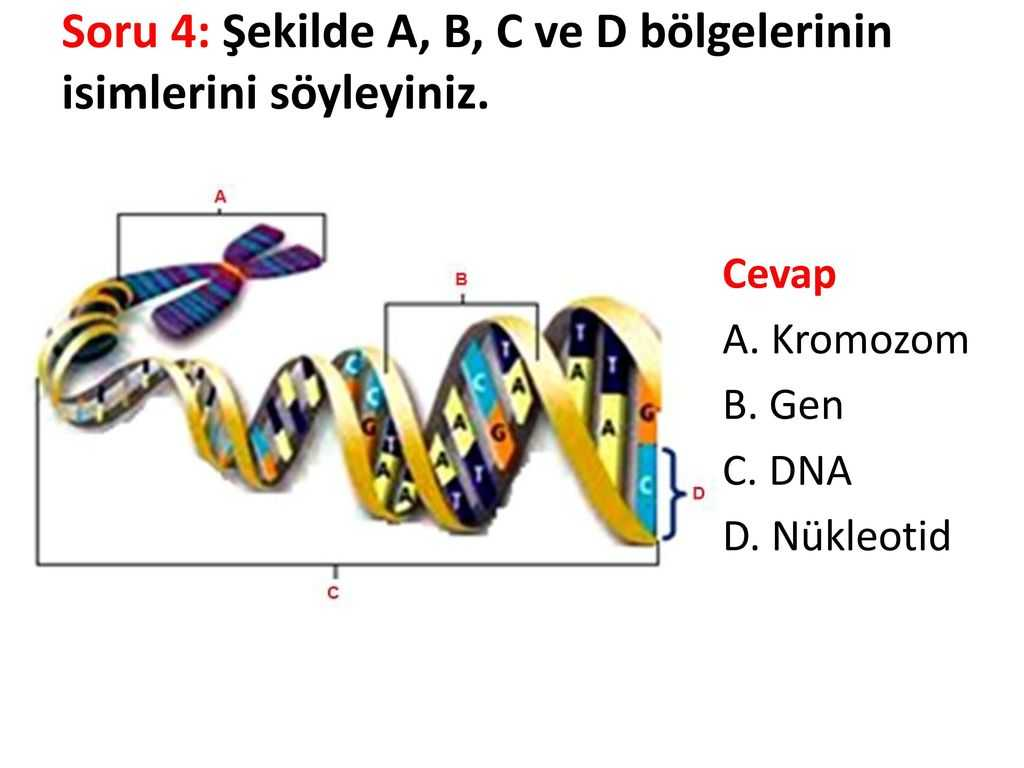 Dna Profiling Using Strs Worksheet Answers or soru 1 1600 Nkleotitten Meydana Gelen Bir Dna Moleklnde