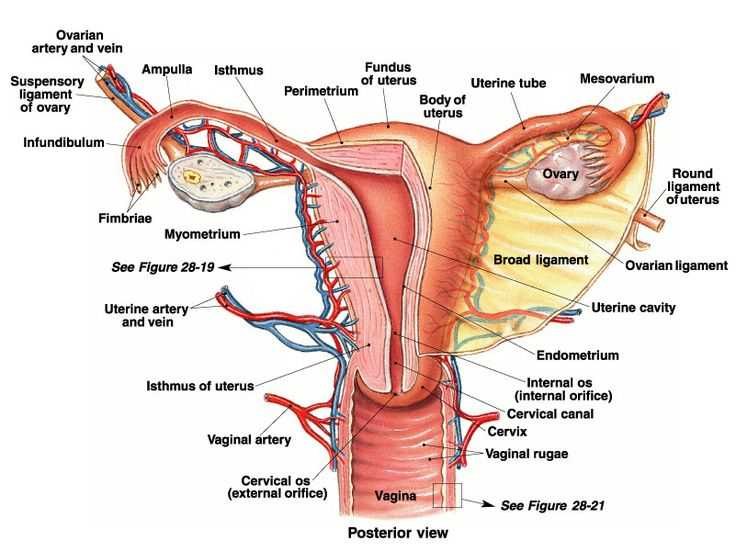 Female Reproductive System Worksheet as Well as 103 Best Reproductive System Images On Pinterest