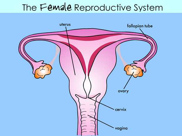 Female Reproductive System Worksheet or Female Reproductive System