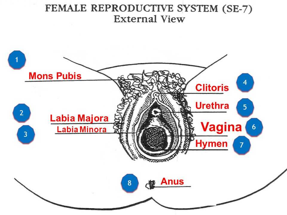 Female Reproductive System Worksheet with Beste Diagram Labia Galerie Menschliche Anatomie Bilder