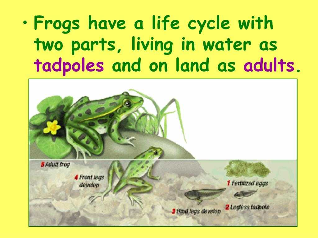 Frog Dissection Worksheet as Well as Frog Life Cycle Powerpoint Bing Images