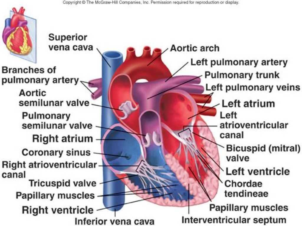 Heart Valves and the Cardiac Cycle Worksheet Answers Along with orbital Septum Anatomy Image Collections Human Learni Ana