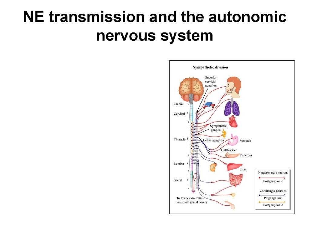 Organization Of the Nervous System Worksheet Answers Along with