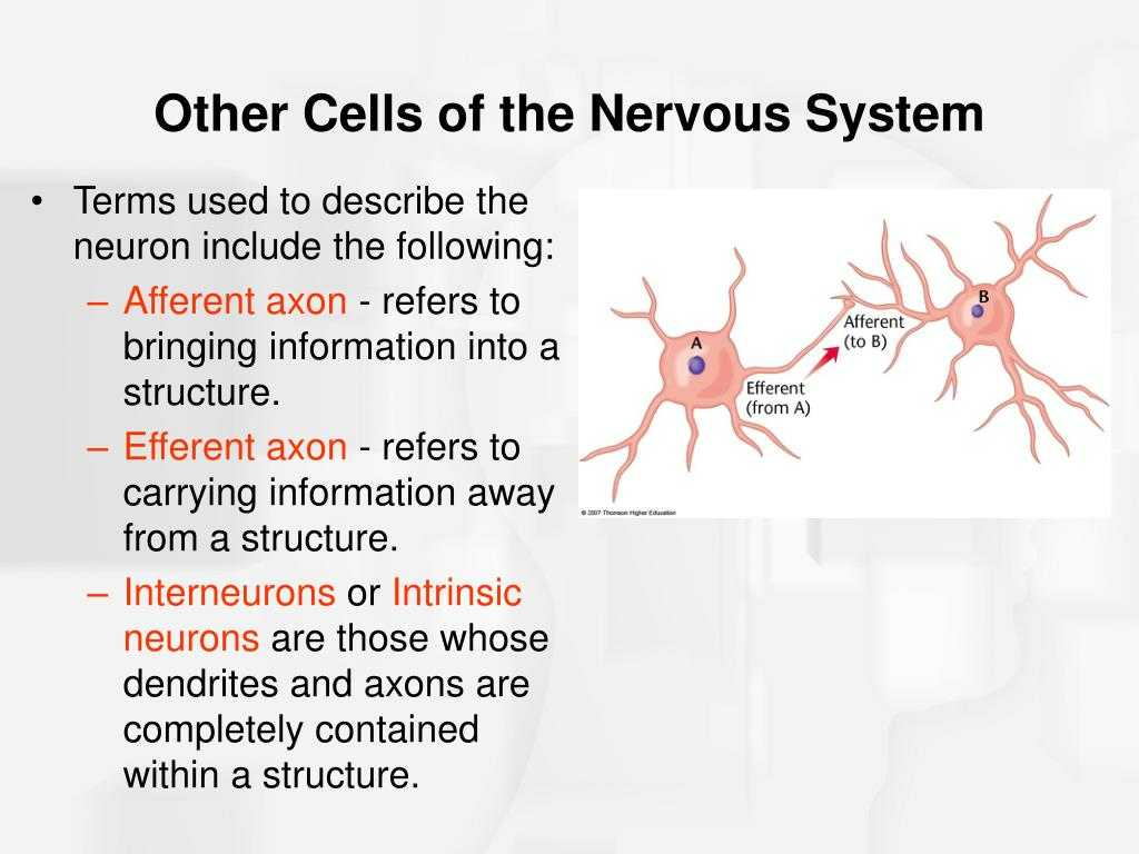 Organization Of the Nervous System Worksheet Answers Along with Structure Motor Neuronmotor Neuron Disease Neurological