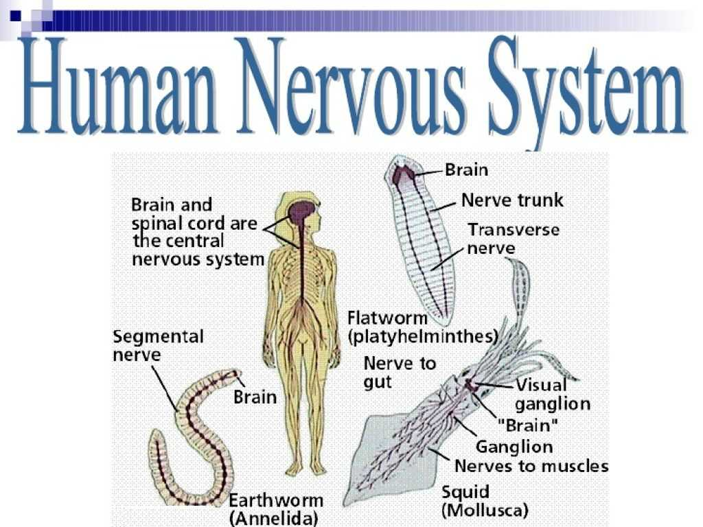 Organization Of the Nervous System Worksheet Answers Also Human Nervous System Human Anatomy Body