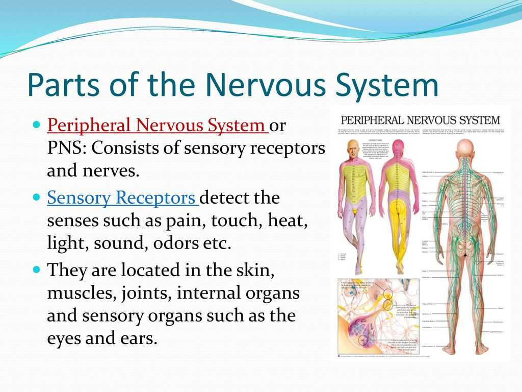Organization Of the Nervous System Worksheet Answers Also Nervous System Ppt