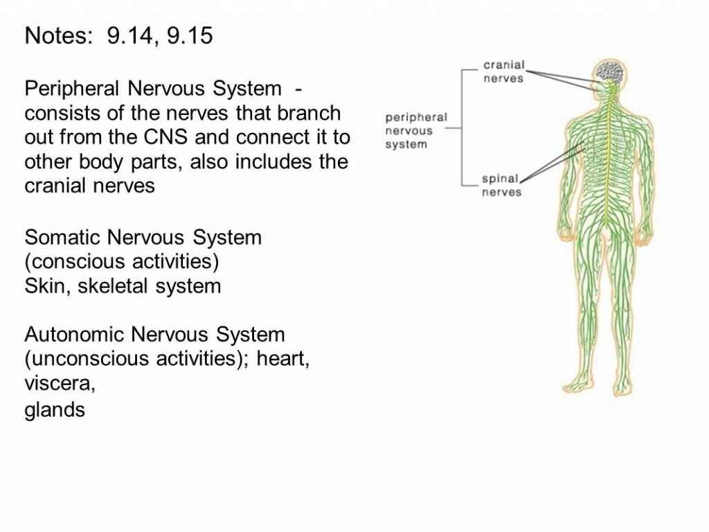 Organization Of the Nervous System Worksheet Answers or the Peripheral Nervous System Consists Notes 914 915 Peri