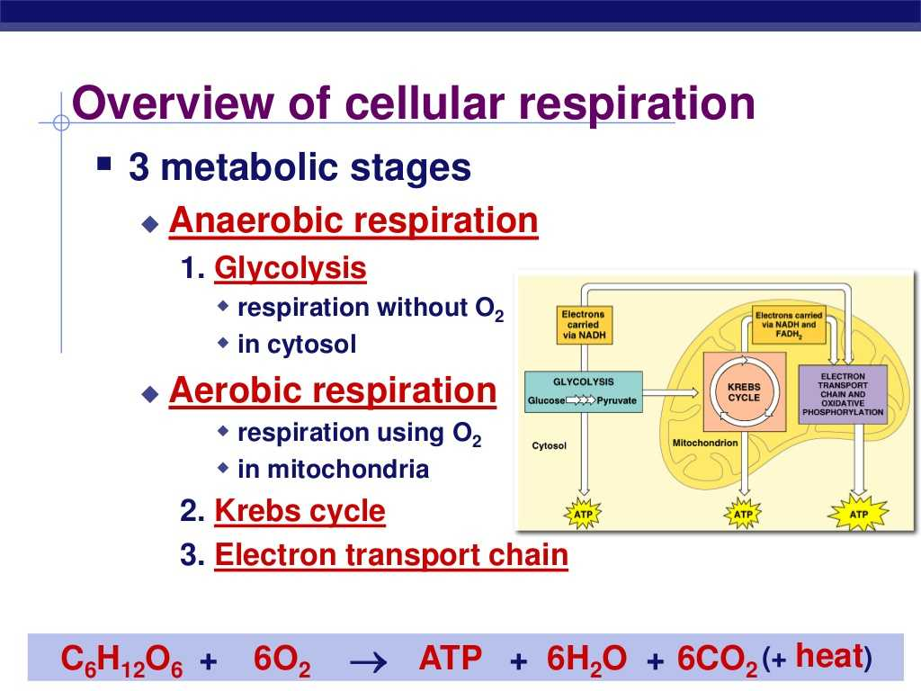Photosynthesis & Cellular Respiration Worksheet Answers and 3 Steps Cellular Respiration Galleryhip the Hip
