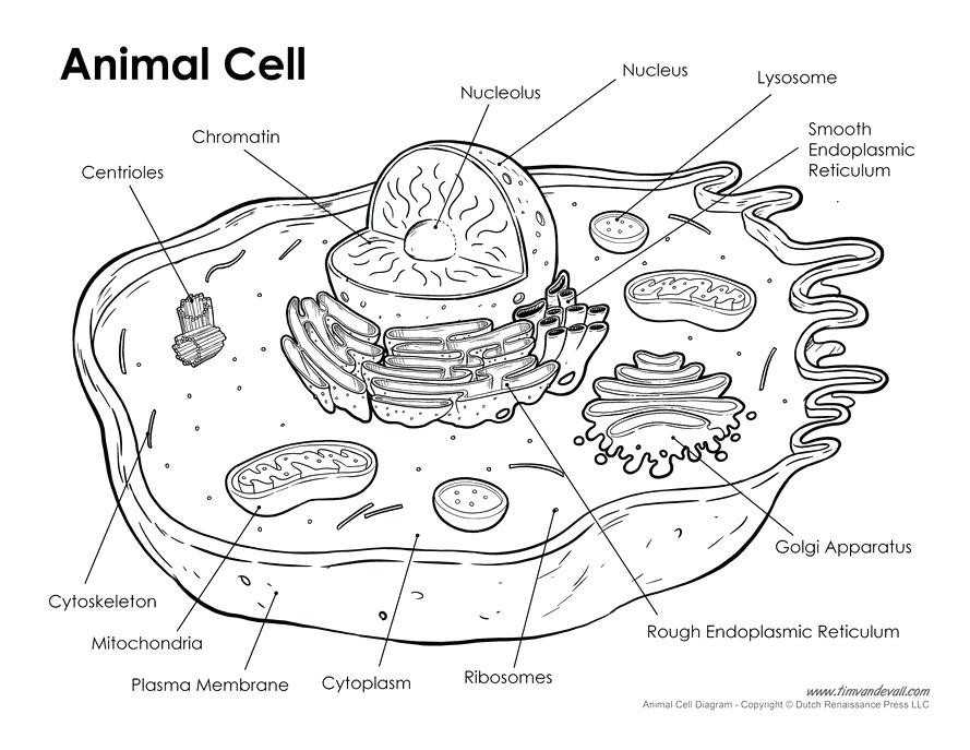 The Animal Cell Worksheet Along with 15 Inspirational Animal Cell Coloring Page Image