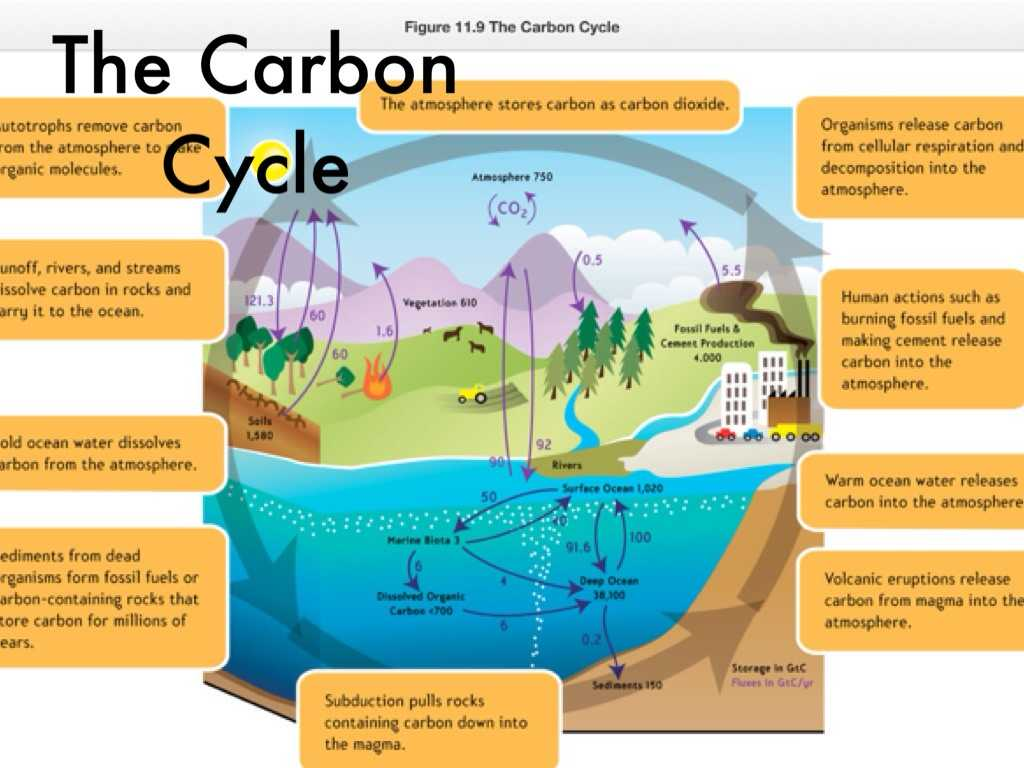 The Carbon Cycle Worksheet Answers and Scavenger Hunt by Ty Dalrymple
