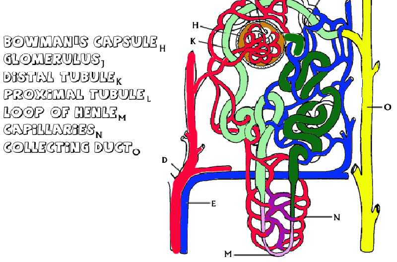 Diffusion Worksheet Answers Also Anatomy Of the Kidney and Nephron