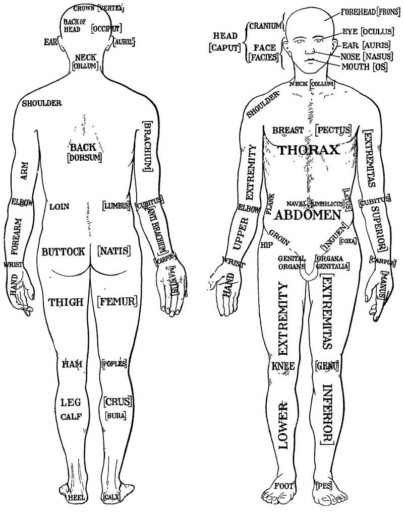 Human Body Worksheets and File Morris 1933 1 Wikimedia Mons