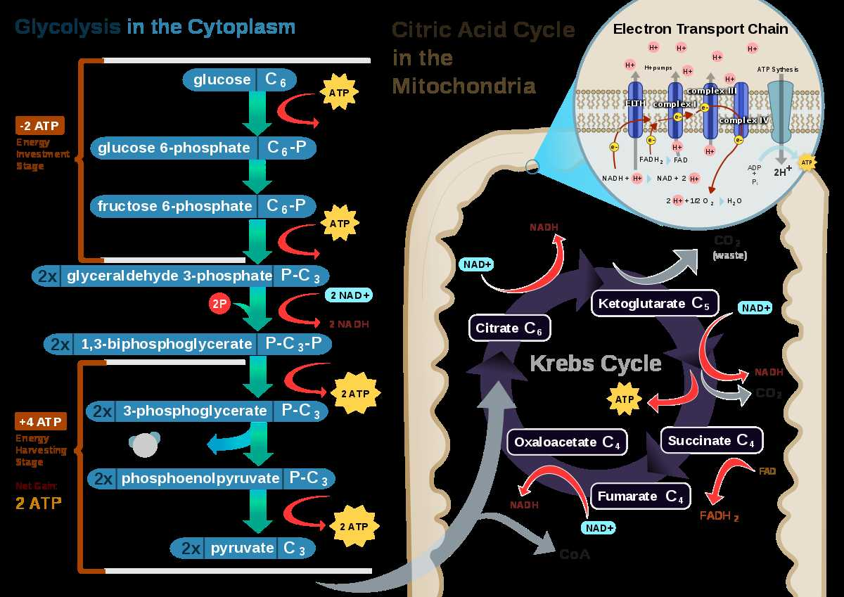 Prokaryotic And Eukaryotic Cells Worksheet Answer Key
