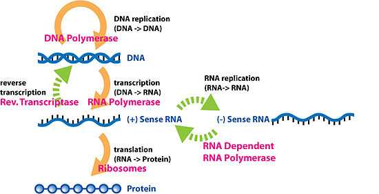 Protein Synthesis and Amino Acid Worksheet Answers and Central Dogma Of Molecular Biology