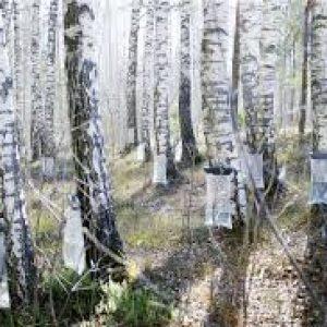 semestafakta-Birch sap2