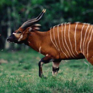 semestafakta-bongo antelope