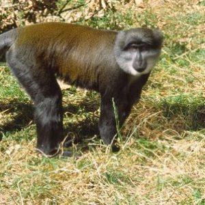 semestafakta-the sun-tailed monkey