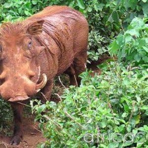 semestafakta-warthog