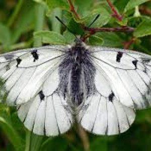 semestafakta-Apollo butterfly