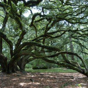 semestafakta-the-live-oak