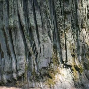 semestafakta-redwood2