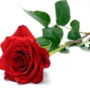 semestafakta-rose
