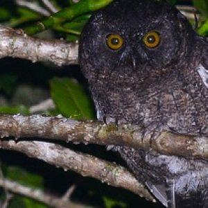 semestafakta-Karthala Scops-Owl
