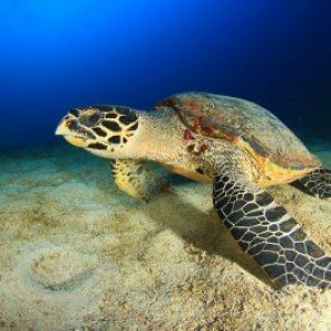 semestafakta-sea turtle