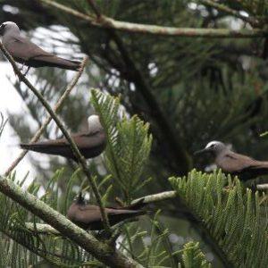 semestafakta-noddy birds
