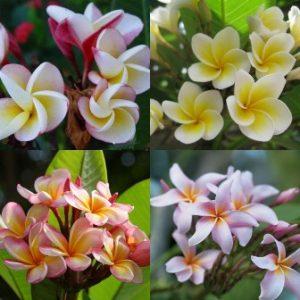 semestafakta-the beautiful frangipani