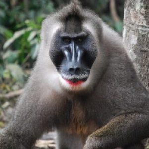 semestafakta-The drill monkey