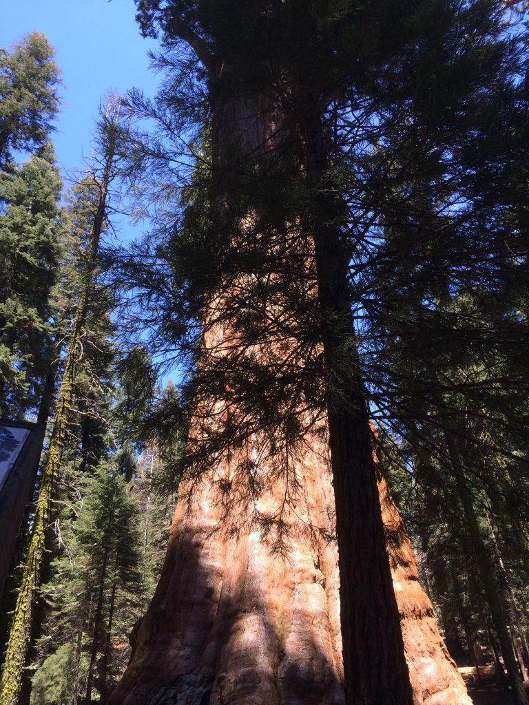 Sequoia (4)
