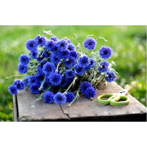 Semillas de Flor Azulejo o Aciano  Tienda Virtual de