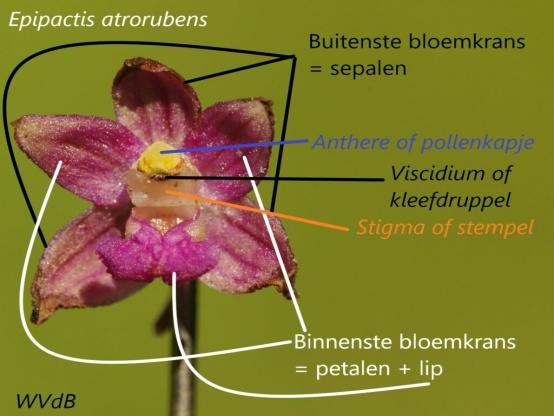 Bouw van de bloem en het bestuivingsmechanisme bij <i>Epipactis</i> door Walter Van den Bussche