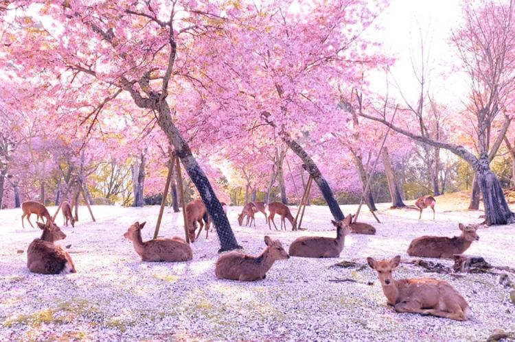 Cervo ucciso con un'ascia a Nara in Giappone